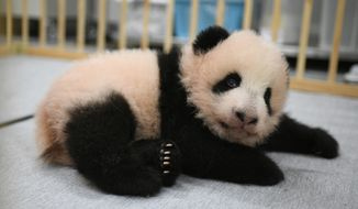This photo released by Tokyo Zoological Park Society shows Lei Lei, one of giant panda twins, 103 days after she was born at Ueno Zoo in Tokyo Monday, Oct. 4, 2021. The twin cubs, Lei Lei and her brother Xiao Xiao, which were palm-size pink creatures when born on June 23, got their names Friday, Oct. 8, 2021, chosen from hundreds of thousands of suggestions sent from fans around the country. (Tokyo Zoological Park Society via AP)